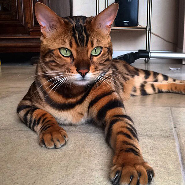 bengal-cat-spots-fur-thor-1