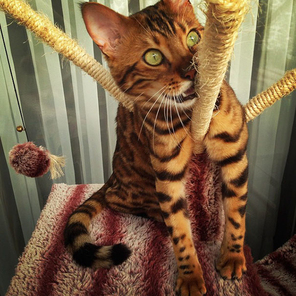 bengal-cat-spots-fur-thor-7