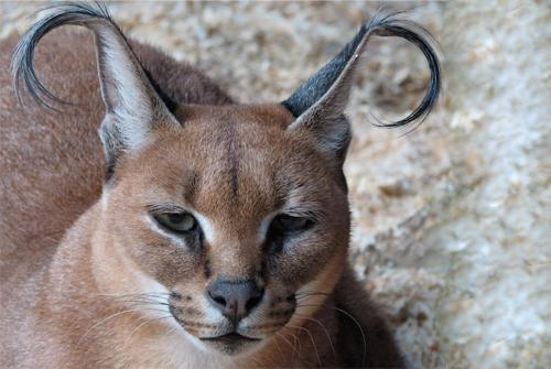 caracal-cutest-wild-cat-1