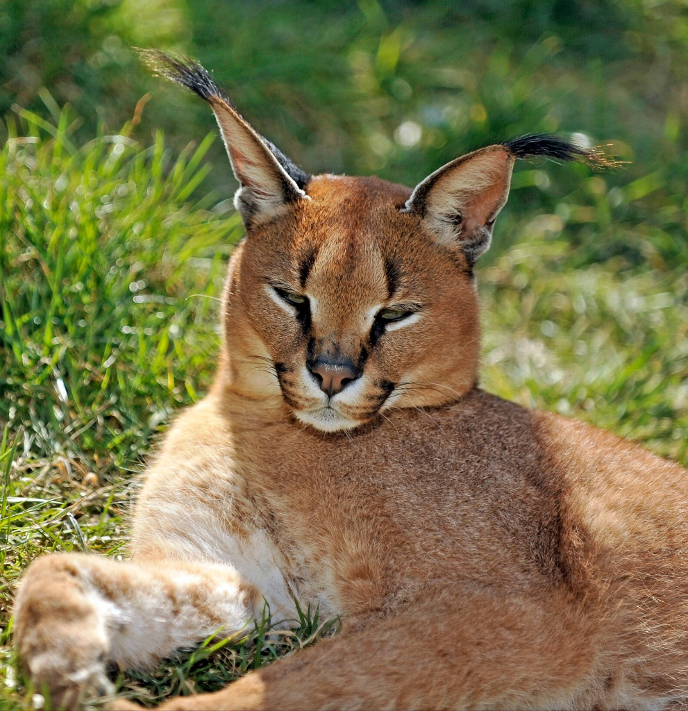 caracal-cutest-wild-cat-10
