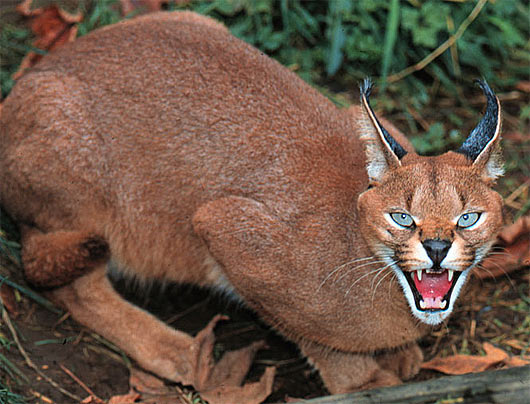 caracal-cutest-wild-cat-11