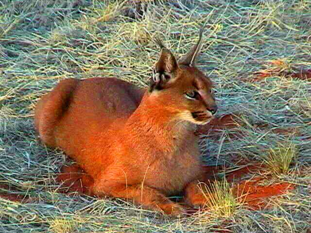 caracal-cutest-wild-cat-12