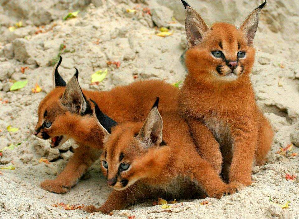 caracal-cutest-wild-cat-13