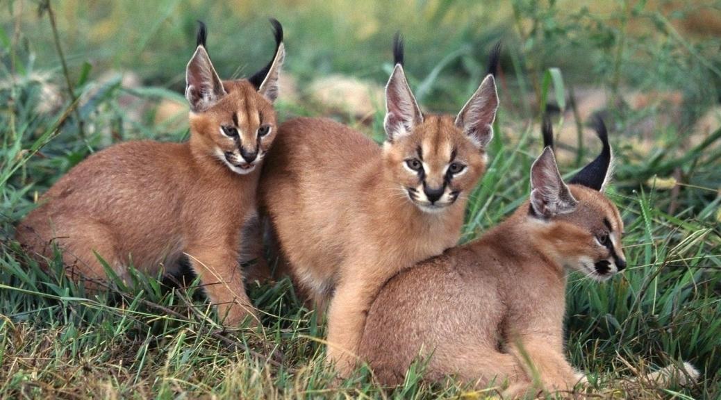 caracal-cutest-wild-cat-14