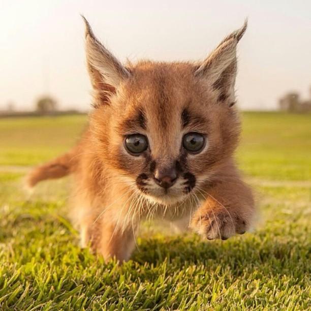 caracal-cutest-wild-cat-15