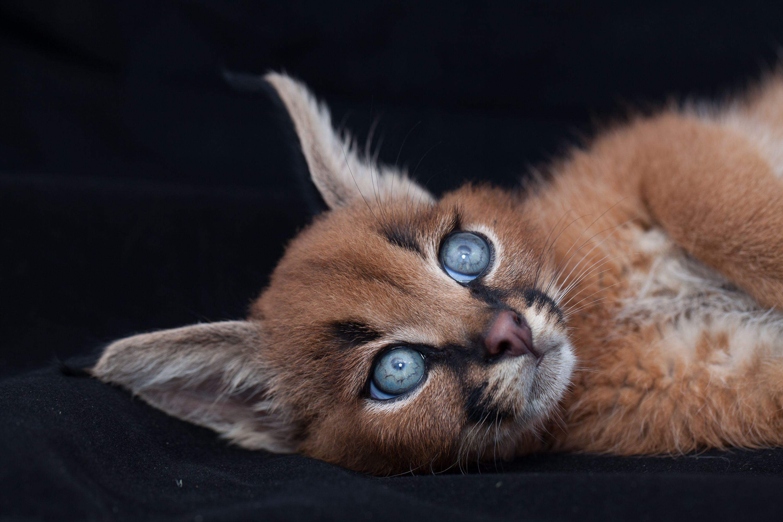 caracal-cutest-wild-cat-16