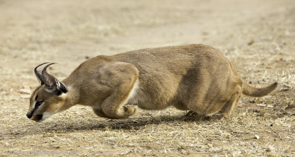 caracal-cutest-wild-cat-3