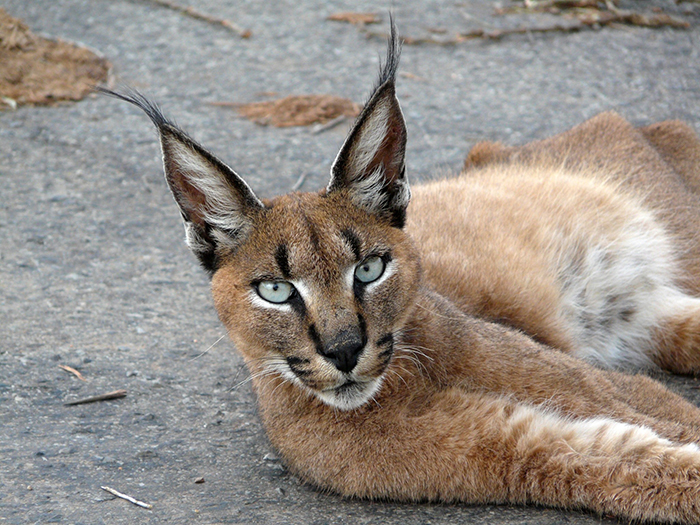 caracal-cutest-wild-cat-4