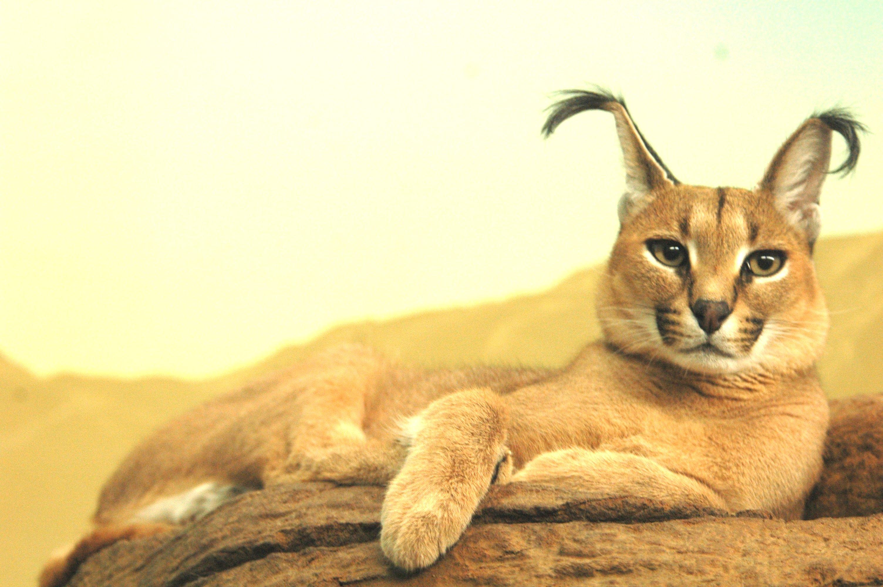 caracal-cutest-wild-cat-5