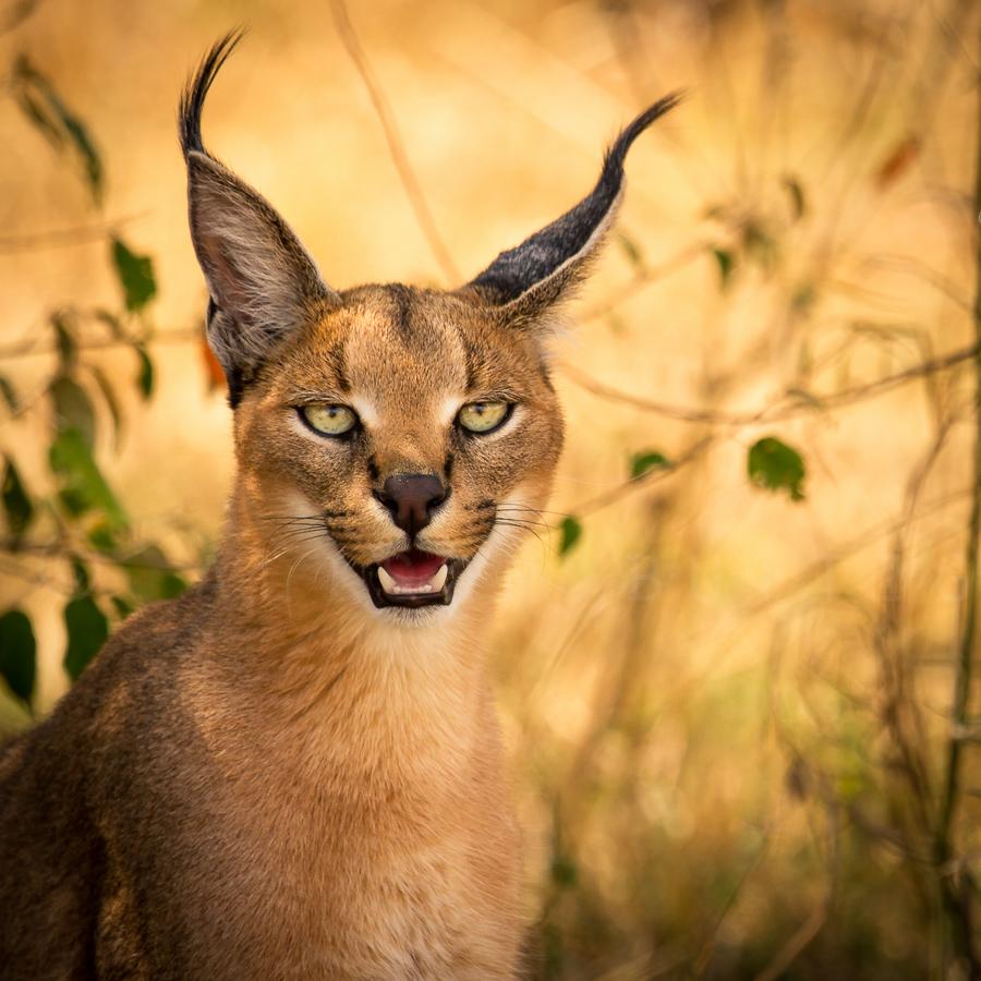 caracal-cutest-wild-cat-7