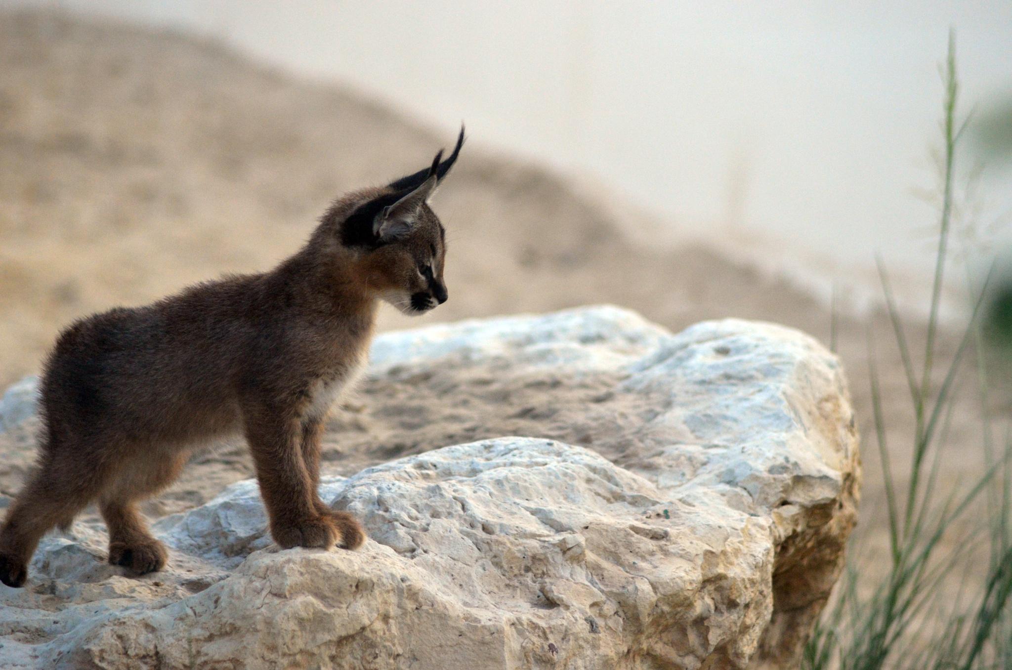 caracal-cutest-wild-cat-8