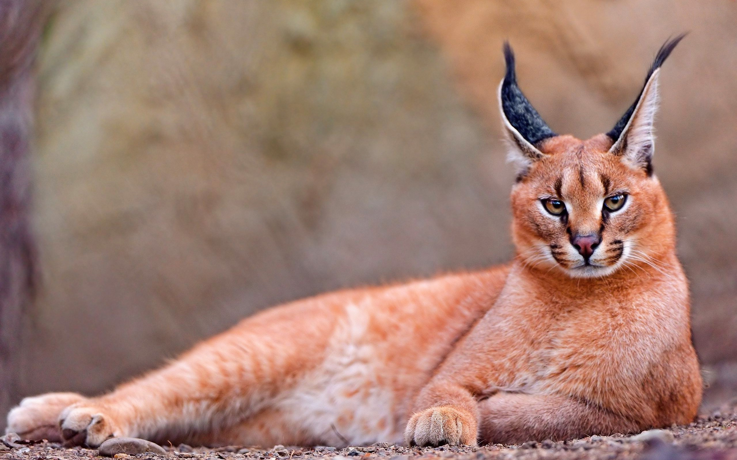 caracal-cutest-wild-cat-9