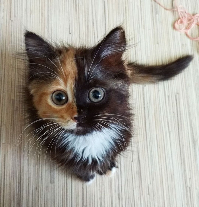 two-faced-kitty-1
