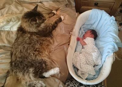Biggest-house-cat-1
