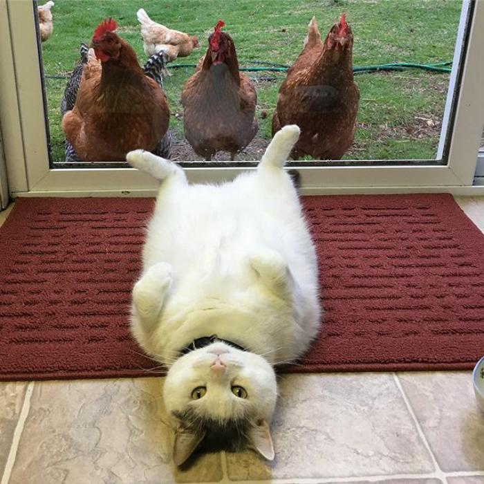 Scruffles-Fat-Cat-1