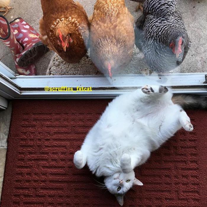 Scruffles-Fat-Cat-2